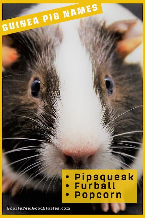 Super cute guinea pig names
